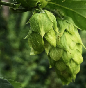 The flower of a hop plant