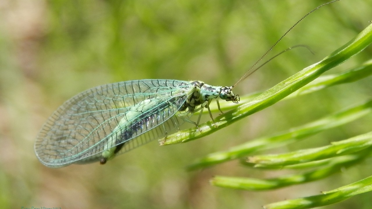 Greenlace Wing insect