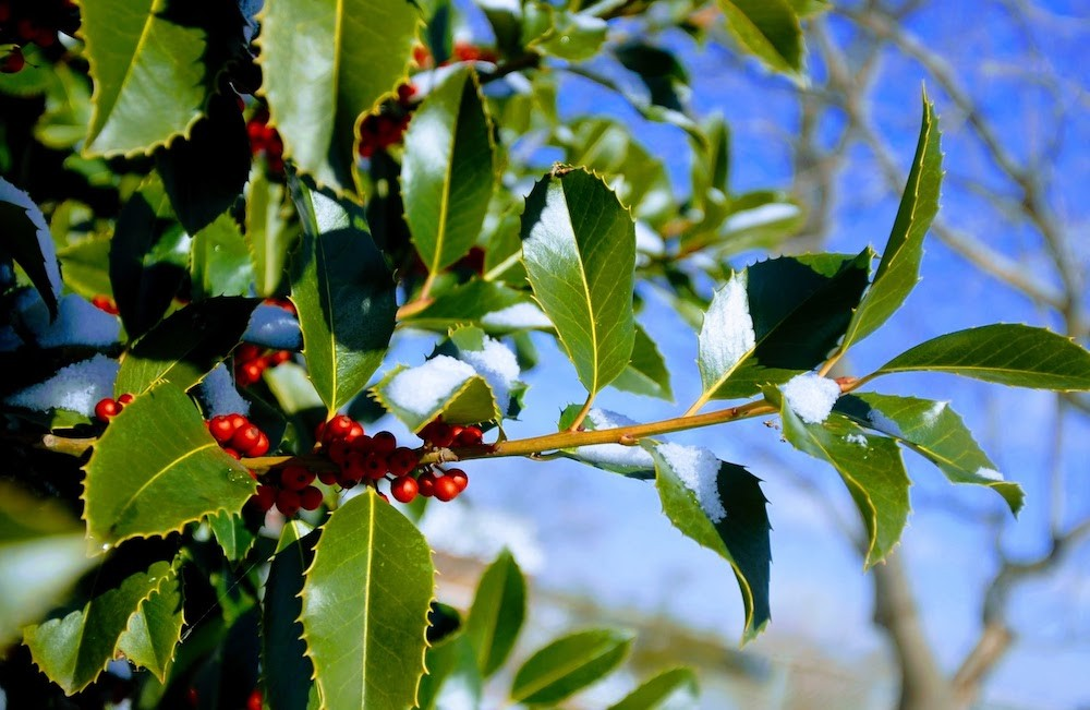 An american holly branch with bright red berries and dark green leaves against a blue sky.
