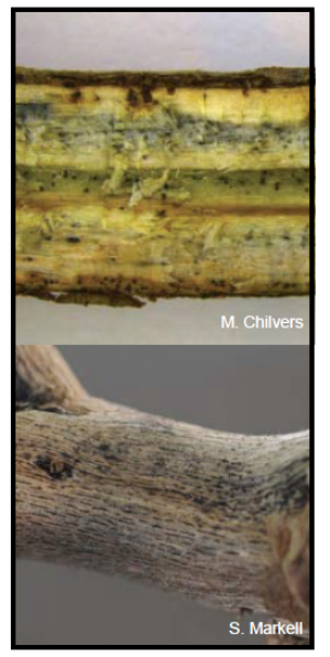 Small black specks indicate the colonization of M. phaseolina on a woody-textured soybean stem.