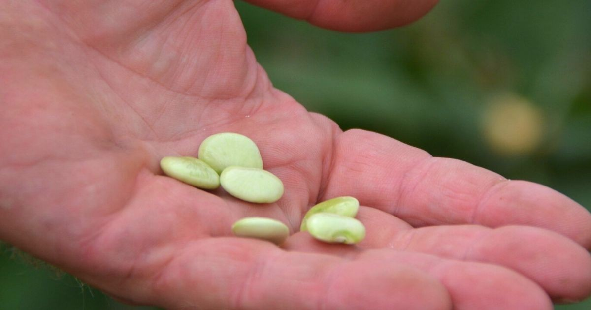 Emmalea Ernest working in the green house with lima beans