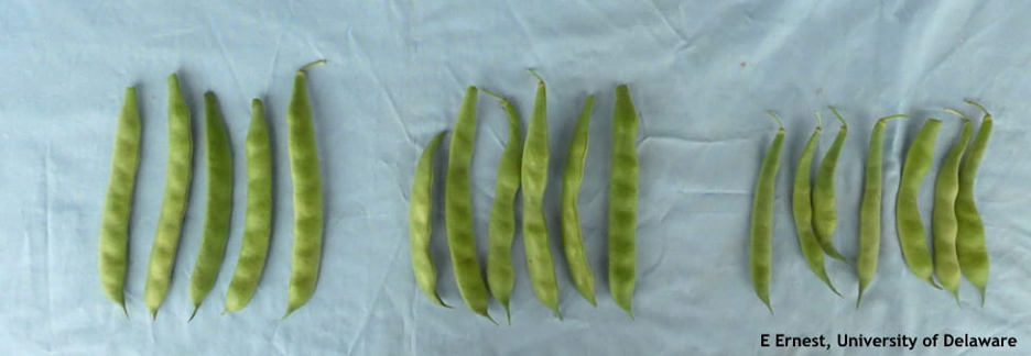 Three sets of beans laid out to observe heat effect.