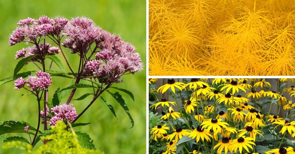 A compilation image of Joe-Pye weed (left), Amsonia (top right) and Black-eyed Susans (bottom right).