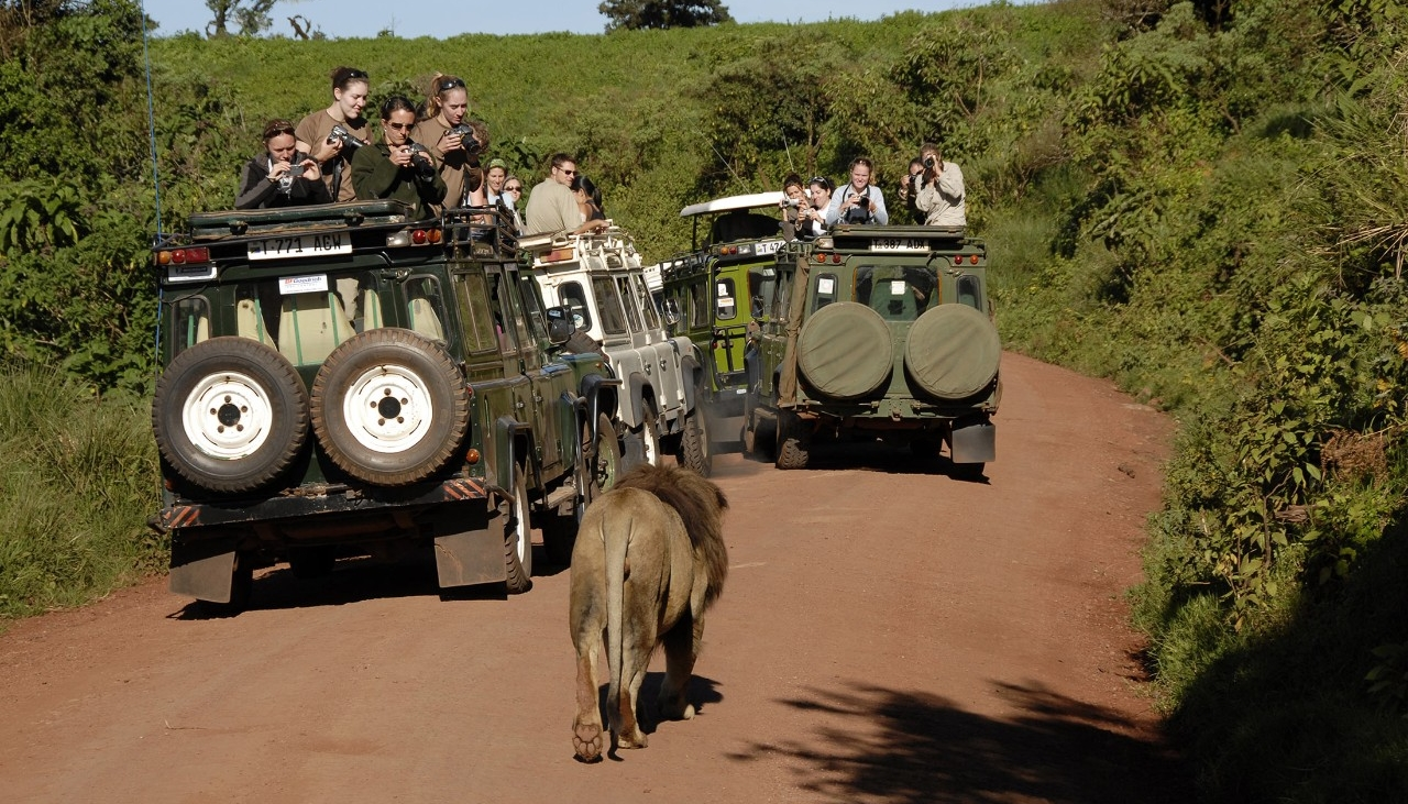 wildlife-ecology-conservation-lion-and-jeeps