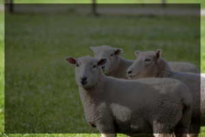 Background photo of sheep for button that goes to Animal Science Blog