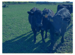 Background photo showing angus cows