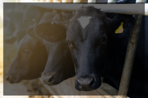 Background photo of cows that points to ANFS dairy research