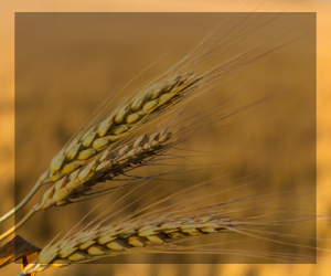 Background photo of wheat for weekly crop update button