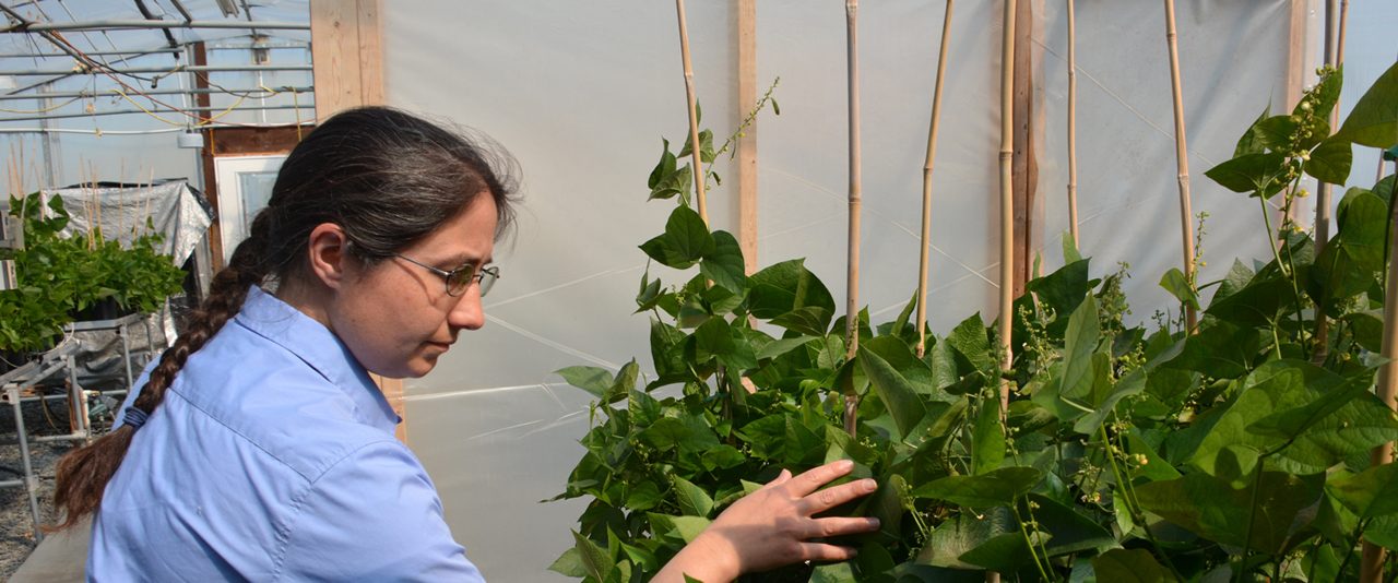 Emmalea Ernest working with lima bean vines in a greenhouse