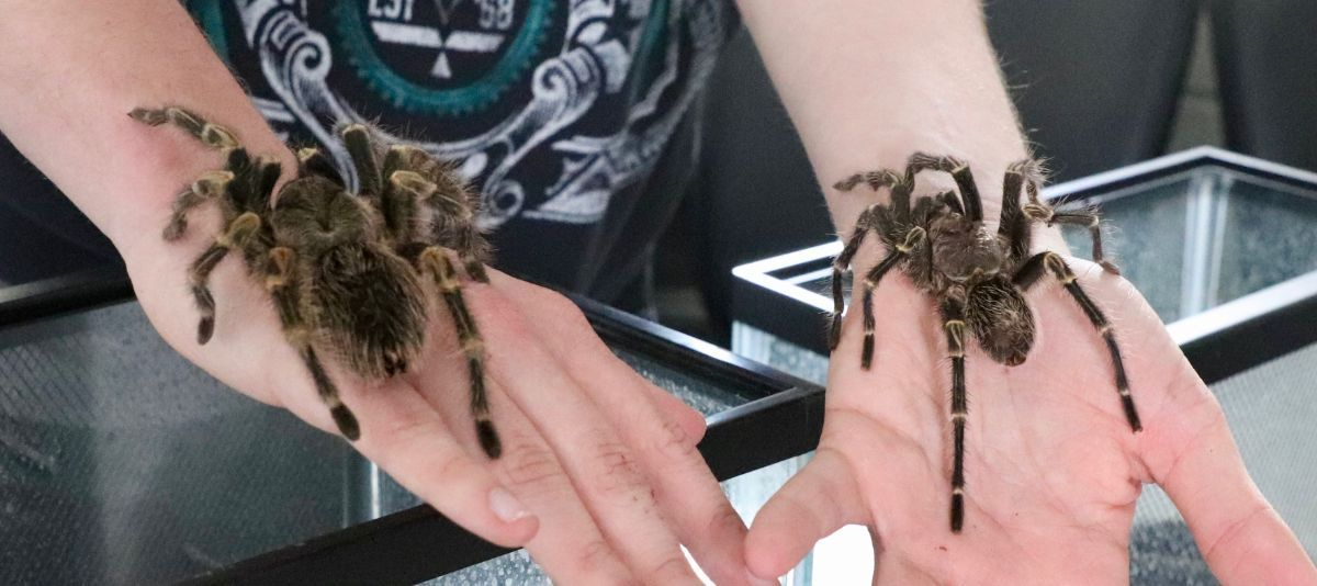 Two tarantulas on a students' hands