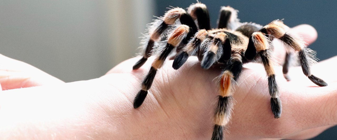 Two tarantulas on a student's hands