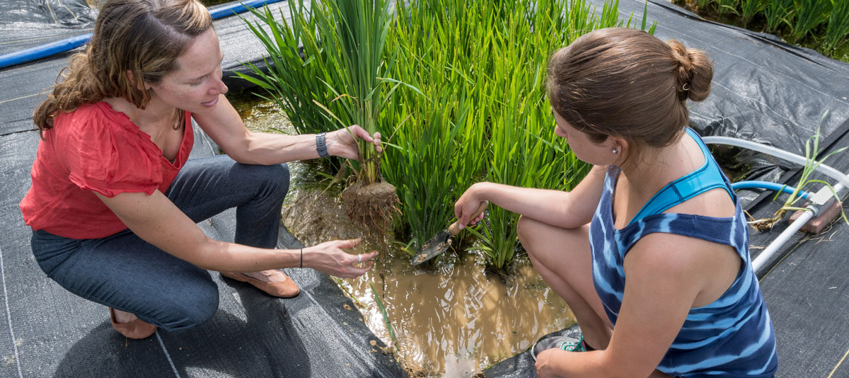 Professor Angelia Seyfferth working with student Amelia Griffith in the rice paddies