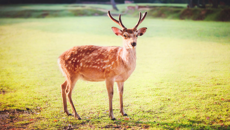University Of Virginia Admissions >> Sika deer history | UDaily