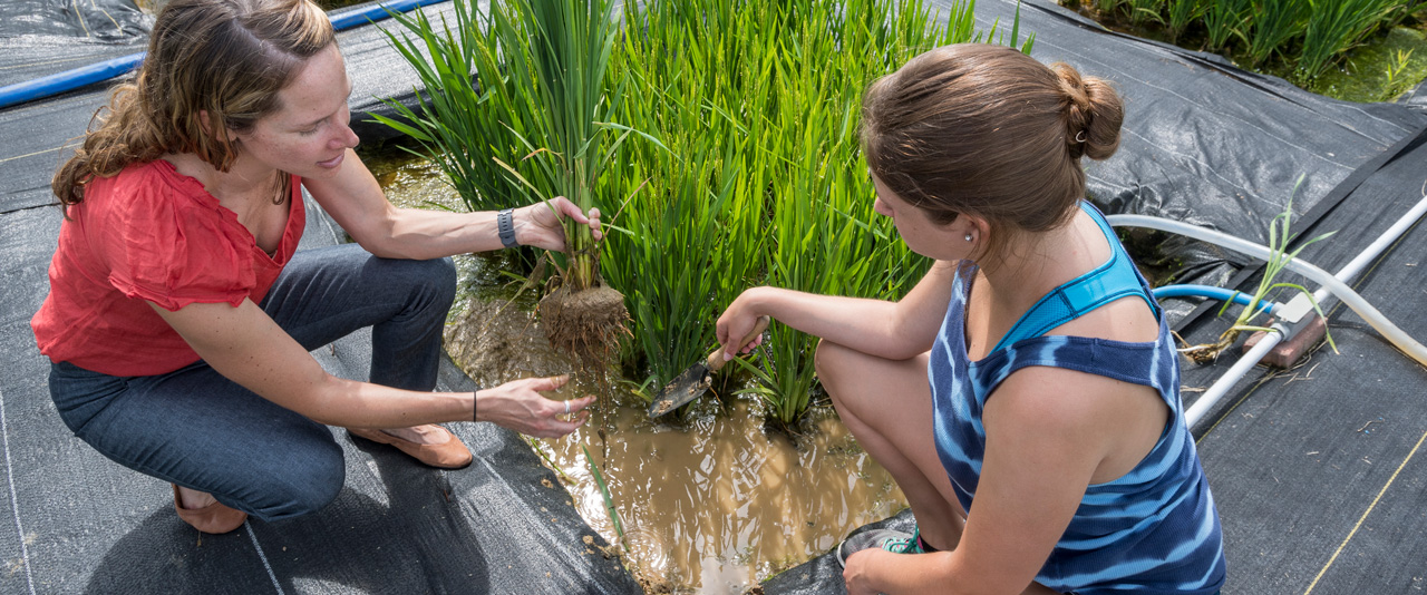 Professor Angelia Seyfferth working in the rice paddies on South Campus with student Amelia Griffith