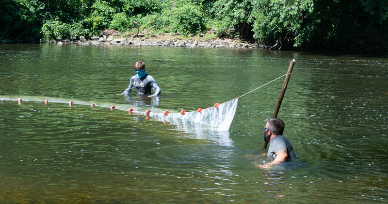 Aquaculture and Fisheries Specialist Ed Hale of Delaware Sea Grant, Simeon Hahn of NOAA and Josh Mottola (left to right) guide a seine net through the Brandywine Creek while searching for American Shad.