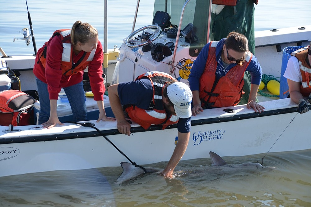 students working from a small boat hold a shark while tagging it