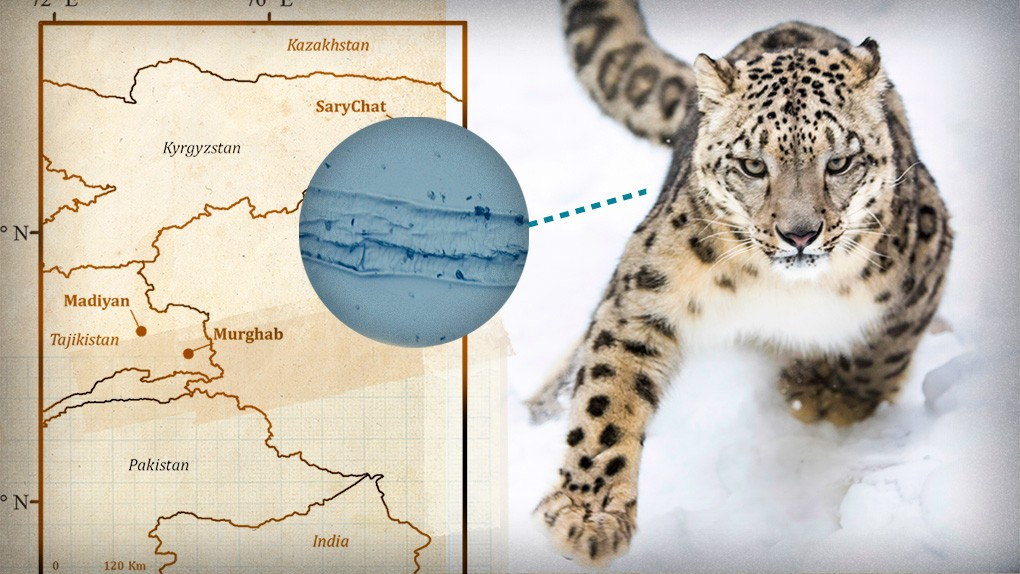 Snow leopard research