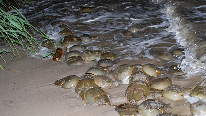 Horseshoe crab study
