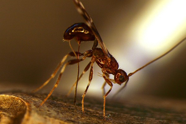 parasitic-wasp-closeup