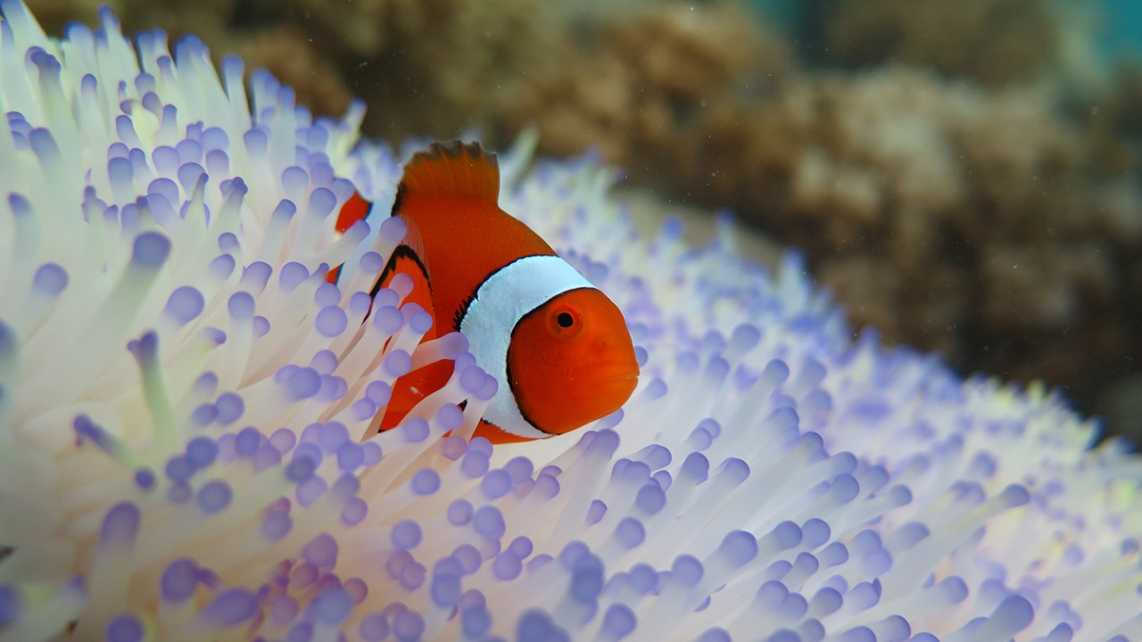 Clownfish vulnerable to bleaching