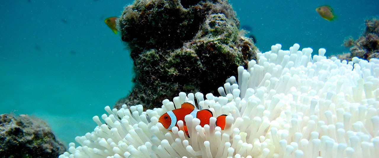 clownfish-coral-bleaching