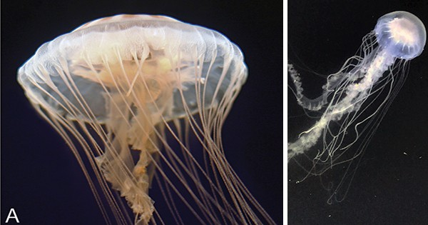 Two different jellyfish: