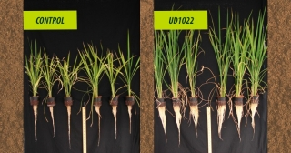 Rice plants treated with the beneficial microbe identified through UD research (right) show much more vigorous growth compared to the untreated plants on the left.