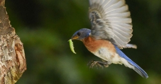 Bird with a bug in its mouth. UD research looks at effects of light pollution on bird migration.