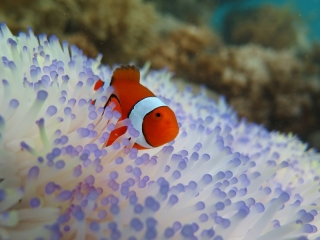 Clownfish in anemones