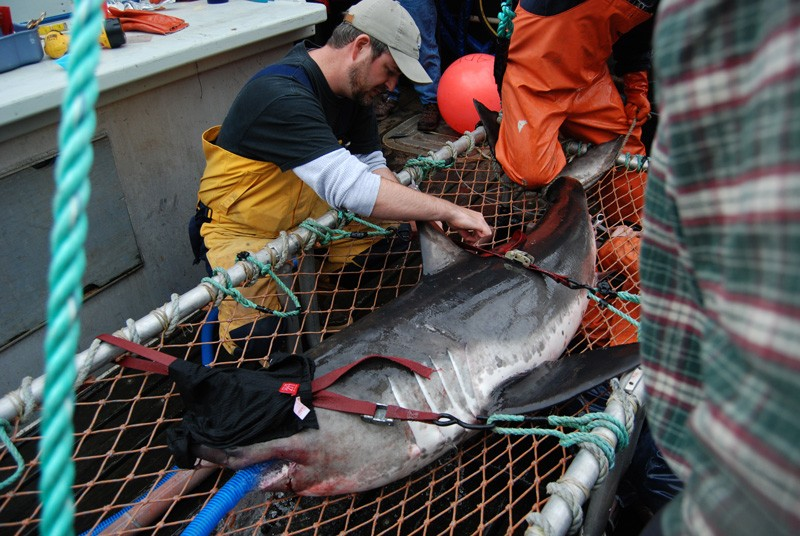 Aaron Carlisle tags a salmon shark to determine where it travels.