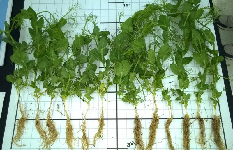 The plants on the right show foliage and root mass that are more robust as a result of treatment.  BASF field studies showed the biofilm strengthens and protects roots, increasing above-ground growth by 5 percent and root growth by 9 percent within six to eight weeks after planting.