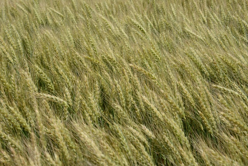 A field of two-row barley grown at the UD Carvel Center is part of a national study evaluating the viability of malt barley as a value-added crop for the brewing industry.