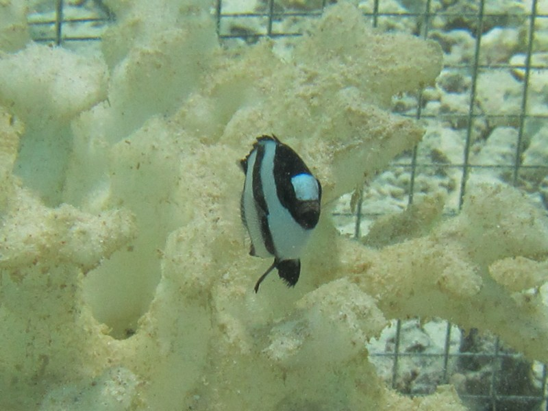 A humbug damselfish interacts with 3D-printed coral during UD field experiments in Fiji.