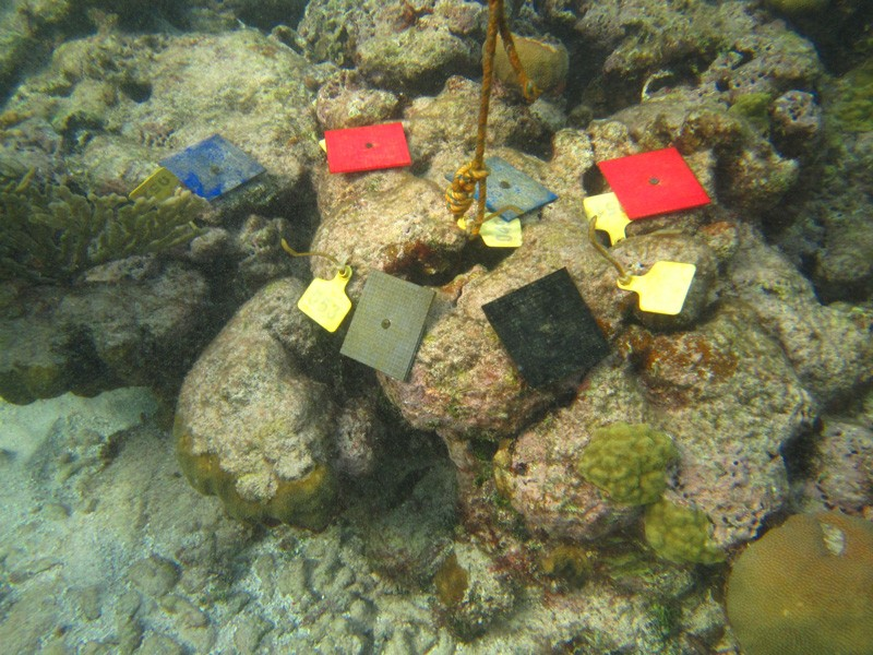 The researchers secured 3D-printed tiles made from different materials to mustard hill coral skeletons located on a reef in Fiji. The tiles were placed in areas that had lost complexity in hopes of learning whether the coral larvae would use a 3D-printed model as habitat to regrow.