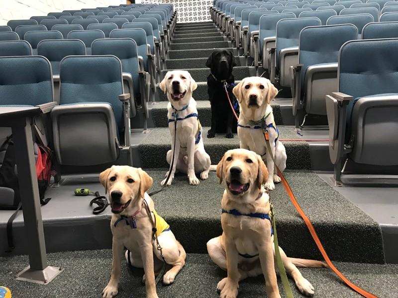 Les chiots du groupe d'étude sur l'indépendance des compagnons canins d'UD serviront un jour de chiens d'assistance pour les personnes ayant des besoins différents. Pas de soucis - cette photo a été prise avant l'éloignement social.