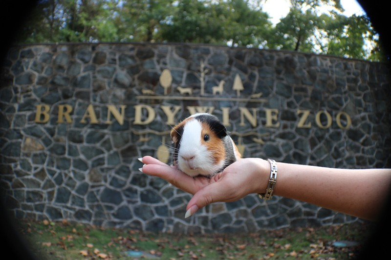 Picchu, the guinea pig, is one of the inhabitants of the Brandywine Zoo, where UD students like Larissa Kubitz have interned.