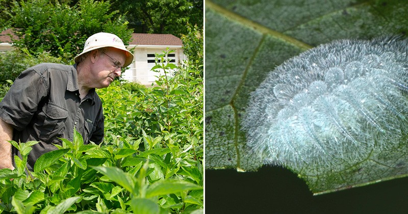UD's Doug Tallamy (left) is a professor of entomology, conservationist and bestselling author. He researches how native plants are crucial to the food web. Insects are the important parts of the web, including the spun glass caterpillar seen here eating a leaf on an oak tree.