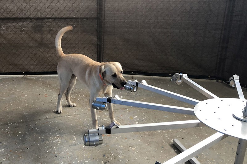The coronavirus (COVID-19) detection canine Poncho indicates a positive sample from multiple items presented on a canine training wheel. The Training Aid Delivery Devices attached to each arm of the wheel allow the dog to detect the substance inside, some of which are the proteins that a person produces in response to the virus.