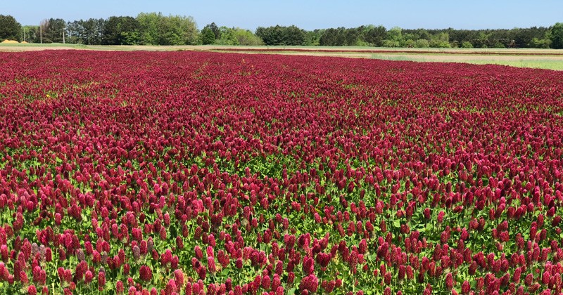 While both beautiful and beneficial, a single planting of the legume crimson clover, shown growing at the Carvel Center in 2018, may fall out of favor in a trending preference for cover crop mixtures.