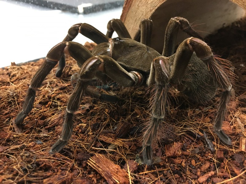 Bellatrix is a slightly anxious goliath birdeater, the largest spider in the world by mass (these guys weigh up to six ounces) and the second largest by legspan. Yes, they really are capable of eating birds (and mice and lizards and frogs).