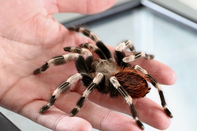 It is estimated that one-third of the world suffers from arachnophobia, or the fear of spiders, and researchers believe this fear is learned, rather than innate. One way to overcome? Hold a cutie from the Insect Zoo, like this Brazilian red-and-white tarantula.