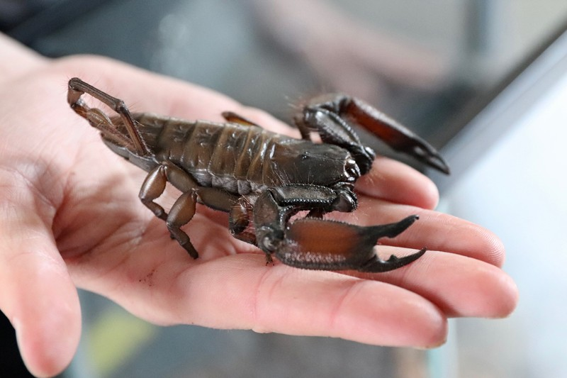 "Dwayne ""the flat rock"" scorpion is ""absolutely a friend,"" said UD senior Patrick Carney, holding the arthropod in this picture. According to Prof. Deb Delaney, the creature is also ""very cute,"" proving beauty truly is in the eye of the beholder."
