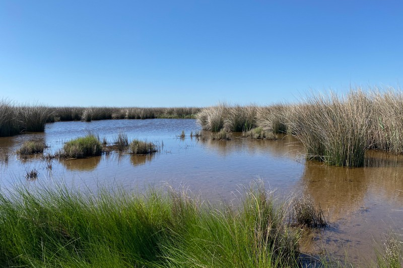 This is a black duck brood-rearing area within a coastal brackish marsh in North Carolina.